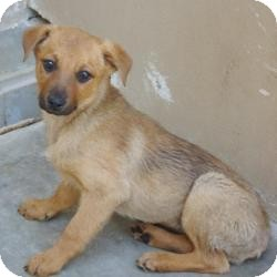 Shepherd (Unknown Type)/Cattle Dog Mix Puppy for adoption in Red Bluff, California - Rain and Sprinkle