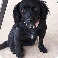 Adopt A Pet :: Mulan - San Angelo, TX