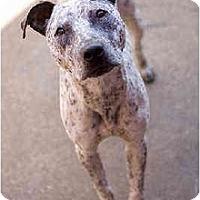 Adopt A Pet :: Flea - Portland, OR