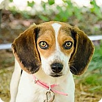 Adopt A Pet :: Baylee - Hagerstown, MD