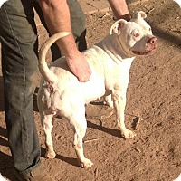 Staffordshire Bull Terrier Mix Dog for adoption in Phoenix, Arizona - Maria