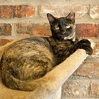 Domestic Mediumhair Cat for adoption in Thibodaux, Louisiana - Phoenix FE2-9396