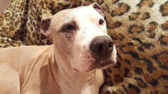 Pit Bull Terrier Dog for adoption in Orange, California - Roxy