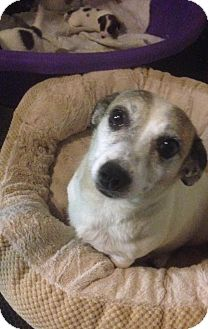 Jack Russell Terrier Mix Dog for adoption in Blue Bell, Pennsylvania - Willow