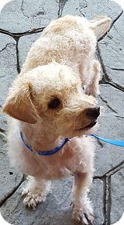 Poodle (Miniature) Mix Dog for adoption in San Diego, California - Elmer