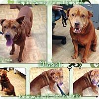 Labrador Retriever/Shar Pei Mix Dog for adoption in Kenansville, North Carolina - DIESEL