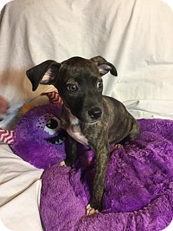 Pit Bull Terrier Mix Puppy for adoption in Barnhart, Missouri - Michonne