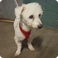 Adopt A Pet :: Blanco - Bronx, NY