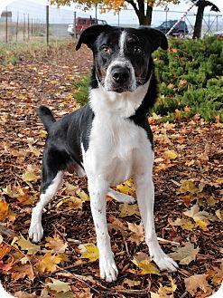 Australian Cattle Dog/Labrador Retriever Mix Dog for adoption in Hayden, Idaho - Dozer