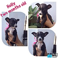Rat Terrier/Dachshund Mix Puppy for adoption in LAKEWOOD, California - Holly