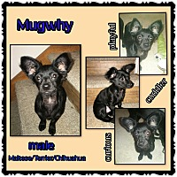 Chihuahua/Maltese Mix Puppy for adoption in Richmond, California - Mugwhy