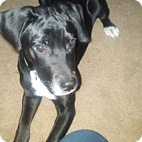 Adopt A Pet :: Benedict - Hagerstown, MD