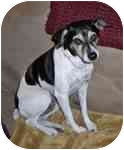 Rat Terrier Dog for adoption in Jacksonville, Florida - Rito