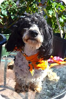 Poodle (Miniature)/Springer Spaniel Mix Dog for adoption in San Diego, California - Bombon