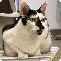 Domestic Shorthair Cat for adoption in Boca Raton, Florida - Zipidy