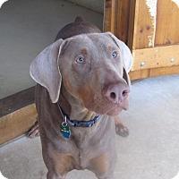 Adopt A Pet :: Zeus - Sinking Spring, PA