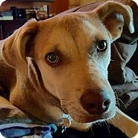 Labrador Retriever Mix Dog for adoption in Austin, Texas - Fiona