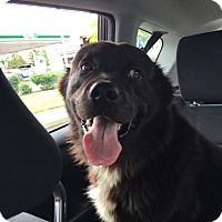 Flat-Coated Retriever Mix Dog for adoption in Chichester, New Hampshire - Beau--in NH!