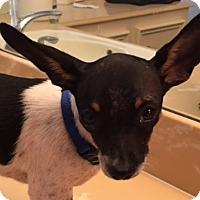 Rat Terrier Mix Puppy for adoption in Katy, Texas - DORA