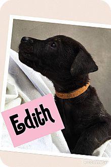 Labrador Retriever Mix Puppy for adoption in Brattleboro, Vermont - Edith