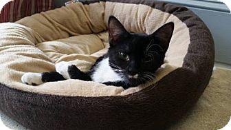 Domestic Shorthair Kitten for adoption in Asheville, North Carolina - Abby