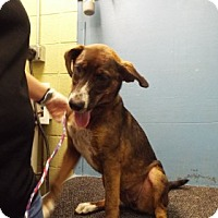Coonhound Mix Dog for adoption in Chalfont, Pennsylvania - Millie