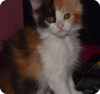 Domestic Shorthair Kitten for adoption in Sherman Oaks, California - Zoey