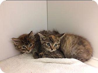 Domestic Longhair Kitten for adoption in Herndon, Virginia - Snaps
