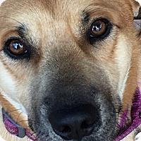 Shepherd (Unknown Type) Dog for adoption in Suwanee, Georgia - Max