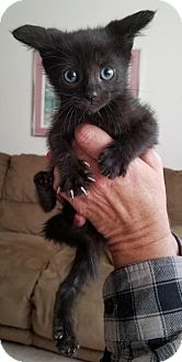 Domestic Shorthair Kitten for adoption in Trenton, New Jersey - Rascal A.