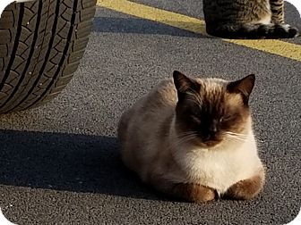 Siamese Cat for adoption in Bay City, Michigan - Simmon  (Mr. Handsome)