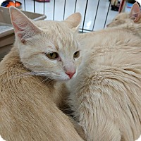 American Shorthair Kitten for adoption in Los Angeles, California - Miracle