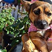 Adopt A Pet :: Chispita - San Diego, CA