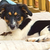 Adopt A Pet :: *Percy - PENDING - Westport, CT