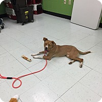 Adopt A Pet :: Ginger - Nashville, TN