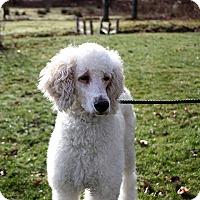 Adopt A Pet :: Abby - Long Beach, NY