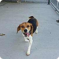 Adopt A Pet :: Captain - Chambersburg, PA