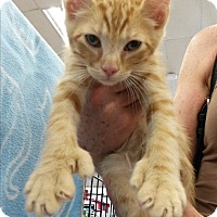 American Shorthair Kitten for adoption in Monrovia, California - Hitch