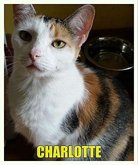 Calico Cat for adoption in MADISON, Ohio - Charlotte