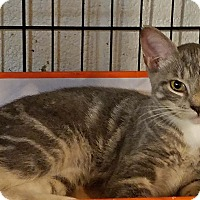 Domestic Shorthair Kitten for adoption in Trevose, Pennsylvania - EvaLynn