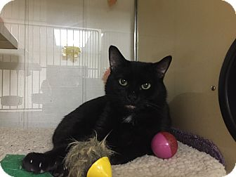 Domestic Shorthair Cat for adoption in New Castle, Pennsylvania - Kara