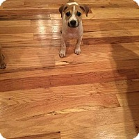 Hound (Unknown Type)/Jack Russell Terrier Mix Dog for adoption in New York, New York - Mickey