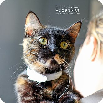 Domestic Shorthair Cat for adoption in Edwardsville, Illinois - Leah
