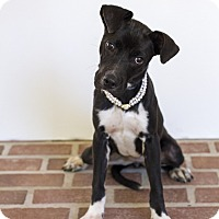 Terrier (Unknown Type, Medium)/Retriever (Unknown Type) Mix Puppy for adoption in Baton Rouge, Louisiana - Puddles  (Foster)