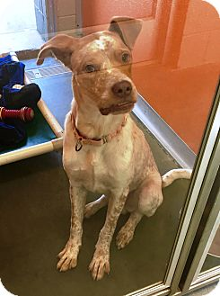 Pointer Mix Dog for adoption in Wilmington, Delaware - Jim