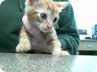 Domestic Mediumhair Kitten for adoption in Plano, Texas - BONES