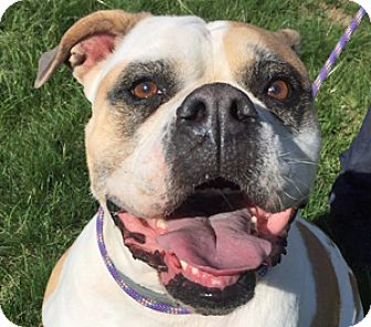 American Pit Bull Terrier Mix Dog for adoption in Fulton, Missouri - Georgia - Massachusetts