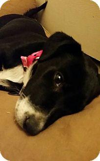 Labrador Retriever Mix Puppy for adoption in Phoenix, Arizona - Lilly