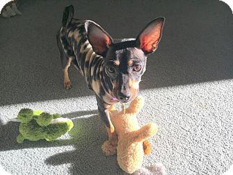 Chihuahua Mix Dog for adoption in Dallas, Texas - Gabby - Puppy