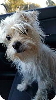Terrier (Unknown Type, Small) Mix Dog for adoption in Loxahatchee, Florida - Rain